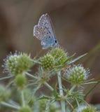 Mariposa azul común Imagen de archivo libre de regalías