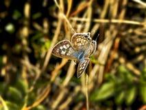 Mariposa azul común 2 Foto de archivo libre de regalías