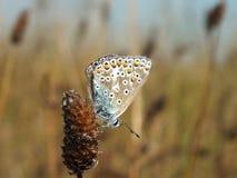 Mariposa azul común Imagenes de archivo