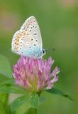 Mariposa azul común foto de archivo libre de regalías