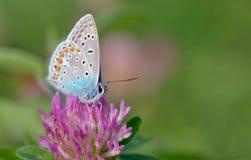 Mariposa azul común fotos de archivo libres de regalías