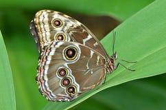 Mariposa azul común de Morpho Imágenes de archivo libres de regalías
