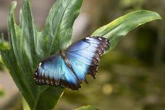 Mariposa azul común de Morpho Foto de archivo libre de regalías