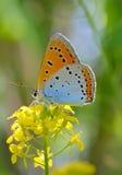 Mariposa azul común de Polyommatus Ícaro imagen de archivo libre de regalías
