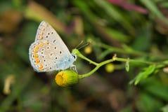 Mariposa azul común en la flor amarilla salvaje Fotos de archivo libres de regalías