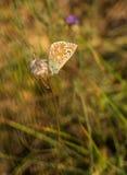 Mariposa azul común en la flor seca Foto de archivo