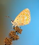Mariposa azul común en la planta secada imagen de archivo libre de regalías
