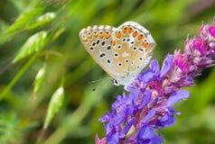 Mariposa azul común en un sabio salvaje en la estación de verano foto de archivo libre de regalías