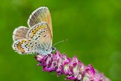 Mariposa azul común en una flor salvaje fotos de archivo libres de regalías