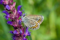 Mariposa azul común en una flor salvaje Fotografía de archivo libre de regalías