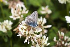 Mariposa azul común gastada imagen de archivo libre de regalías