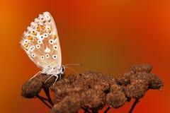 Mariposa azul común Polyommatus Ícaro imagen de archivo