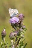 Mariposa azul común (Polyommatus Ícaro) Imagenes de archivo