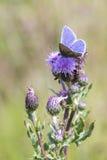 Mariposa azul común (Polyommatus Ícaro) Fotos de archivo