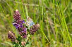 Mariposa azul común que busca el néctar en un sabio salvaje foto de archivo libre de regalías