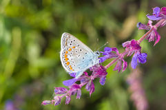 Mariposa azul común que busca el néctar en un sabio salvaje en la estación de verano imagenes de archivo