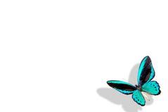 Mariposa azul con la cortina Imágenes de archivo libres de regalías