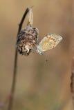 Mariposa azul con rocío de la mañana en las alas. Fotografía de archivo