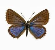 Mariposa - azul de Adonis Fotos de archivo