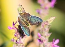 Mariposa azul de Argus Foto de archivo libre de regalías