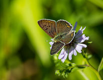 Mariposa azul de Argus Fotos de archivo