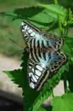 Mariposa azul de las podadoras Fotografía de archivo libre de regalías