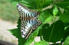 Mariposa azul de las podadoras Imagen de archivo libre de regalías