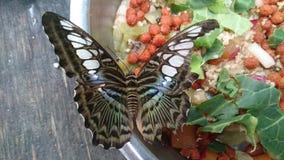 Mariposa azul de las podadoras foto de archivo libre de regalías