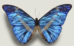 Mariposa azul de lujo Imagen de archivo libre de regalías