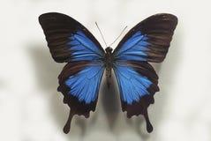Mariposa azul de lujo Fotos de archivo libres de regalías