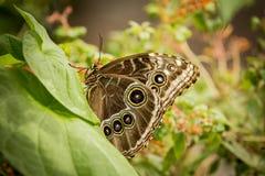 Mariposa azul de Morpho Foto de archivo libre de regalías