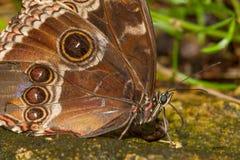 Mariposa azul de Morpho Foto de archivo