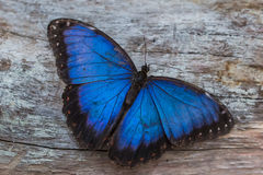 Mariposa azul de Morpho Imagenes de archivo