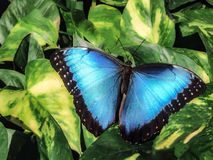 Mariposa azul de Morpho Imagen de archivo libre de regalías