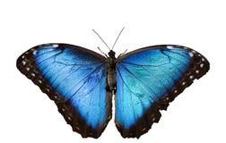 Mariposa azul de Morpho en blanco Fotografía de archivo libre de regalías
