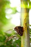 Mariposa azul de Morpho en el árbol de bambú Fotos de archivo