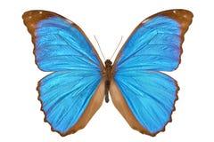 Mariposa azul de Morpho (Menelaus Morpho azul) Imagen de archivo