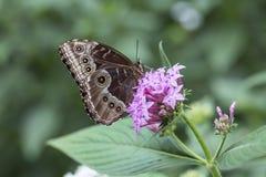 Mariposa azul de Morpho, peleides de Morpho Fotos de archivo libres de regalías