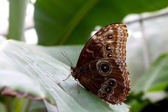 Mariposa azul de Morpho que se sienta en una hoja grande Imagen de archivo