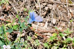 Mariposa azul de Osiris en las montañas fotografía de archivo libre de regalías