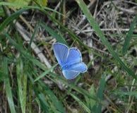 Mariposa azul de Osiris en las montañas de Italia fotos de archivo