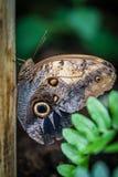 Mariposa azul de Peleides Morpho fotos de archivo