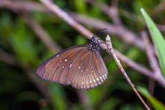 Mariposa azul de rey Crow Fotografía de archivo