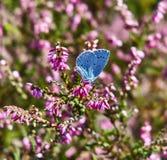 Mariposa azul del acebo en brezo Imagen de archivo