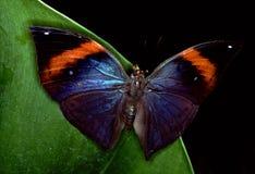 Mariposa azul del morpho Fotos de archivo
