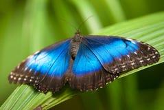 Mariposa azul del morpho Fotografía de archivo
