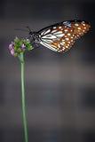 Mariposa azul del tigre Imagen de archivo