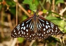 Mariposa azul del tigre Foto de archivo libre de regalías