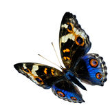 Mariposa azul del vuelo exótico, la mariposa azul del pensamiento aislada Imagen de archivo libre de regalías