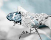 Mariposa azul en infrarrojo en la rama blanca fotografía de archivo